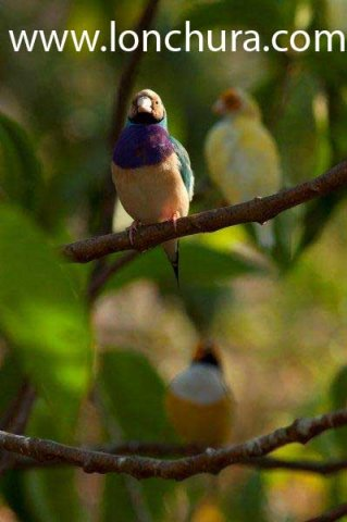 Diamante de Gould